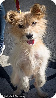 Terrier (Unknown Type, Small) Mix Dog for adoption in Loudonville, New York - Sylvie