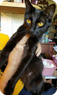 Domestic Mediumhair Cat for adoption in Jarrell, Texas - Pumpkin