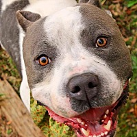 American Pit Bull Terrier Mix Dog for adoption in Lincoln, California - Genesis