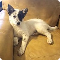 Adopt A Pet :: *Barkley - PENDING - Westport, CT