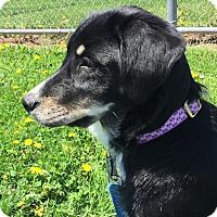Adopt A Pet :: *Sweet Sophie - PENDING - Westport, CT