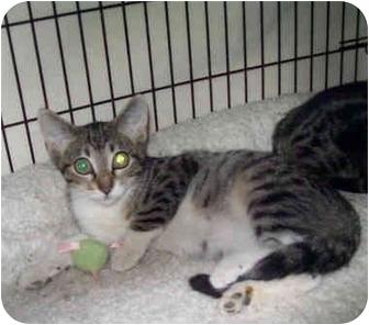 Domestic Shorthair Kitten for adoption in St. Louis, Missouri - Leonard