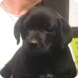 Labrador Retriever Mix Puppy for adoption in Greencastle, North Carolina - Pepper