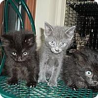 Adopt A Pet :: Silverado - Acme, PA