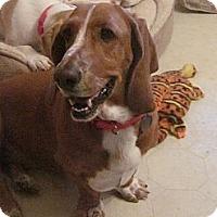 Adopt A Pet :: Run-a-Round Sue - Barrington, IL