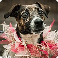 Adopt A Pet :: Jackie in Tulsa - Oklahoma City, OK