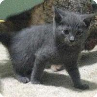 Adopt A Pet :: Lavender - Hamilton, ON
