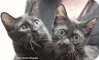 Domestic Shorthair Kitten for adoption in Huntsville, Alabama - Smokey and Bandit