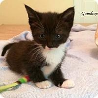Adopt A Pet :: Gumdrop - Merrifield, VA