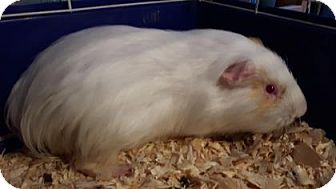 Guinea Pig for adoption in Simcoe, Ontario - Gitalla