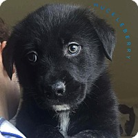 Adopt A Pet :: Huckleberry - Pitt Meadows, BC