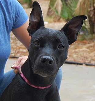 Shepherd (Unknown Type) Mix Dog for adoption in Las Vegas, Nevada - Melinda