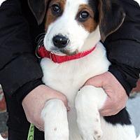 Adopt A Pet :: Chad - Harrison, NY