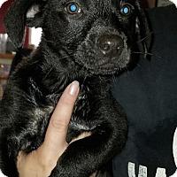 Adopt A Pet :: London (Danielle-Camden) - Blossvale, NY
