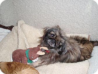Pekingese Dog for adoption in Richmond, Virginia - Gimmie