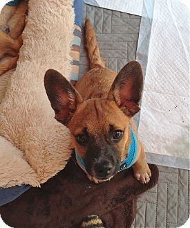 Pug/Chihuahua Mix Puppy for adoption in Los Angeles, California - Rudy