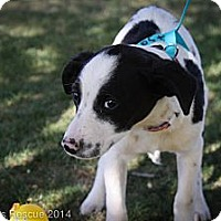 Adopt A Pet :: Cotton - Broomfield, CO