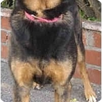German Shepherd Dog/Labrador Retriever Mix Dog for adoption in West Los Angeles, California - Ginger (& Zoe)