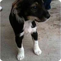 Adopt A Pet :: Dakota - Arlington, TX
