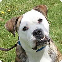 English Bulldog Mix Dog for adoption in Monroe, Michigan - Rocky