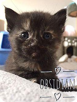 Domestic Shorthair Kitten for adoption in Fort Leavenworth, Kansas - Obsidian