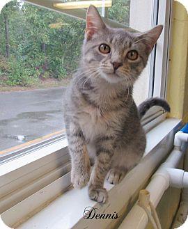 Domestic Shorthair Kitten for adoption in Jackson, New Jersey - Dennis