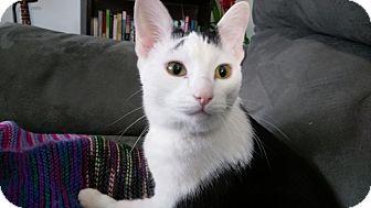 Domestic Shorthair Kitten for adoption in Columbus, Ohio - Felix