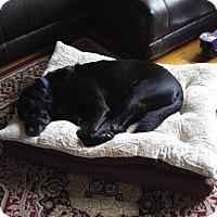 Adopt A Pet :: ZOA- MOE - Aurora, IL