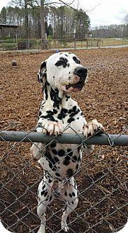 Dalmatian Dog for adoption in Temple, Georgia - Chip