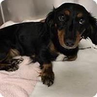 Adopt A Pet :: Sydnee - Humble, TX