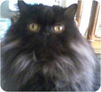 Maine Coon Cat for adoption in Columbus, Ohio - Magnum PI
