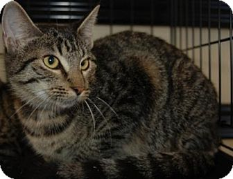 Domestic Shorthair Cat for adoption in Houston, Texas - Meka