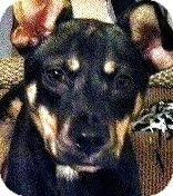 German Shepherd Dog/Labrador Retriever Mix Puppy for adoption in Wakefield, Rhode Island - GRIFFEY(ADORABLE SHEP. PUPPY!!