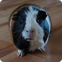 Adopt A Pet :: Stuart - Brooklyn Park, MN