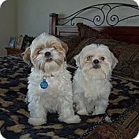 Adopt A Pet :: Sugar Momma - Denver, CO