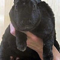 Adopt A Pet :: MIDNIGHT - Wildomar, CA
