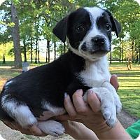 Adopt A Pet :: Mickey - Starkville, MS
