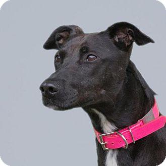 Greyhound/Staffordshire Bull Terrier Mix Dog for adoption in Woodinville, Washington - Maya