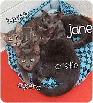 Domestic Shorthair Kitten for adoption in Huntington, New York - Jane 2016153