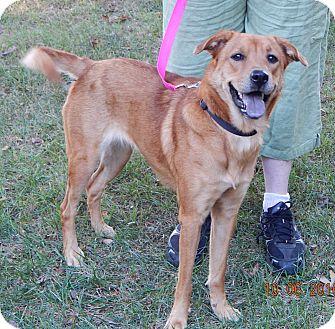 Husky/Retriever (Unknown Type) Mix Dog for adoption in Burlington, Vermont - Angelia(45 lb) Good Family Pet
