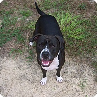 Pit Bull Terrier Mix Dog for adoption in Homosassa, Florida - Dozer