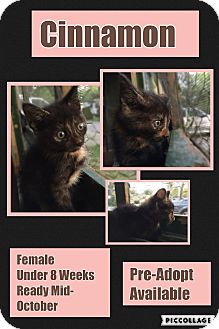 Domestic Shorthair Kitten for adoption in CLEVELAND, Ohio - Cinnamon