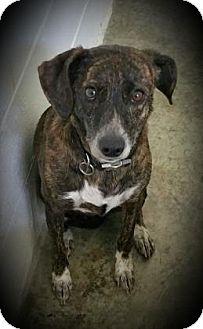 Labrador Retriever Mix Dog for adoption in Paducah, Kentucky - Bella