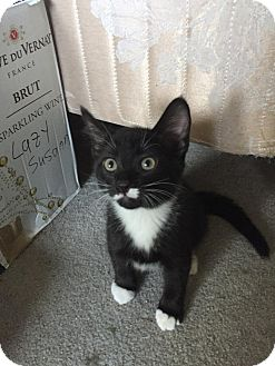 Domestic Shorthair Cat for adoption in Turnersville, New Jersey - Got Milk?