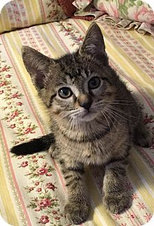 Domestic Shorthair Kitten for adoption in Gainesville, Florida - Mulder