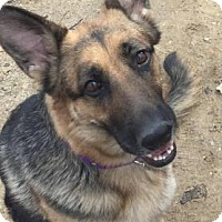 Adopt A Pet :: Shelby - Chester Springs, PA