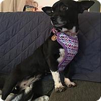 Adopt A Pet :: Sabrina - Encino, CA