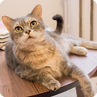 Adopt A Pet :: Miss Kitters - Chicago, IL