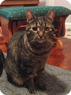 Domestic Shorthair Cat for adoption in Carlisle, Pennsylvania - FridayCP