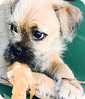 Brussels Griffon/Terrier (Unknown Type, Small) Mix Puppy for adoption in Rock Hill, South Carolina - Izzy